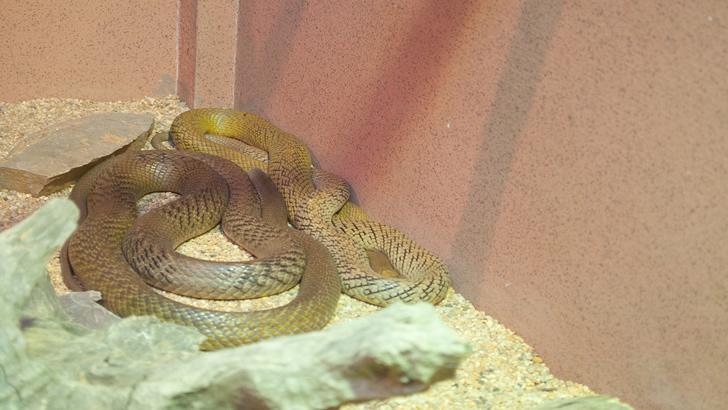 A cobra mais venenosa do planeta