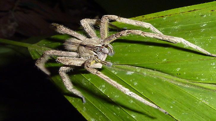 Aranha mais venenosa do Brasil