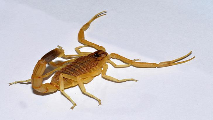 Escorpião mais venenoso do planeta