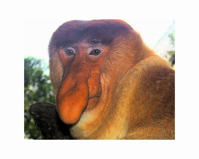 Macaco com nariz estranho, o mais feio do mundo