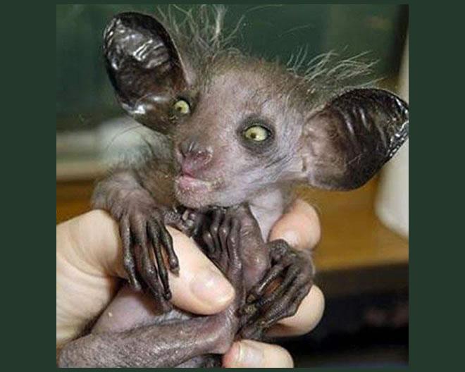 Morcego mais feio do mundo, parece um gremlin