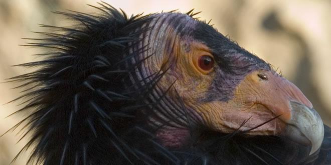 Urubu - Passario extremamente feio