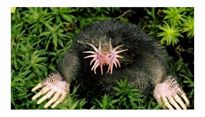 Star Nosed Mole - Criatura mais horripilante de todas