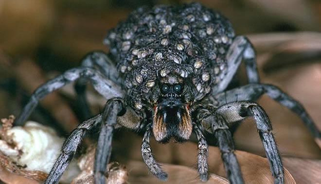 Wolf Spider - Aranha realmente medonha!